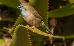 Southern Cordonbleu-298 (C&P_Pics) Tags: birds bluewaxbill choma nkangaconservancy places southerncordonbleu waxbillsmuniasandallies zambia southernprovince zm