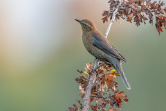Rusty Blackbird (Joe Branco) Tags: photoshop lightroom ontario canada bird birds branco joe joebrancophotography wildlifephotography nikond850 rustyblackbird green