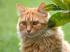 An elegant cat hunting for its prey!! (SHAN DUTTA) Tags: cat 2017 elegant animal nikon nikond5200 potrait