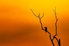 Tucan (impodi@gmail.com) Tags: pantanal tucan brazil brasil america nikon sunset color bird tree nature