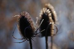 One, Two, Three (Hugobian) Tags: teasel teasle flora nature light sun frost ice backlight macro fairlands valley stevenage pentax k1 lake