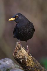 _IMG9114 (douglasjarvis995) Tags: bird wild wildlife pentax k1 150450 nature animal blackbird cromwell bottom yorkshire