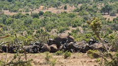 DSC08884 (Paddy-NX) Tags: 2019 20190109 addoelephantnationalpark africa buffalo sony sonya77ii sonyalpha sonyalphaa77ii sonysal70300g southafrica wildlife