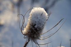 Uniohakas (Jaan Keinaste) Tags: pentax k3 pentaxk3 eesti estonia loodus nature talv winter lumi snow thistle uniohakas dipsacusfullonum dipsacus aeduniohakas teasel