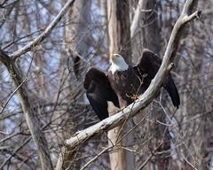Ready for takeoff (jimbobphoto) Tags: eagle baldeagle bird raptor