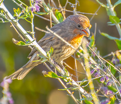Mating Red. (Omygodtom) Tags: wildlife bokeh bird animalplanet animal nikon70300mmvrlens d7100 dof usgs brick red outside mating season spring
