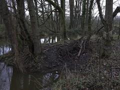 819_0559.jpg (www.kijknaarnatuur.nl) Tags: bever mammal zoogdier beverburcht natuur nature wildlife bos forest water leudal