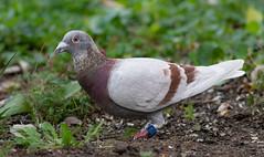 Rock Dove (Lynn Tweedie) Tags: feathers tail 7dmarkii beak missouri eye white bird wing red green canon ef400mm56lusm ngc animal rock dove