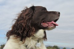 Benjy (billnbenj) Tags: benjy spaniel springerspaniel king kingofhowtunwoods dog barrow cumbria