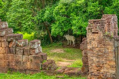 East Mebon temple ruins with cow in Angkor Archeological Park near Siem Reap, Cambodia (UweBKK (α 77 on )) Tags: angkor archeological park archeology ancient history historical temple ruins siem reap cambodia southeast asia sony alpha 77 slt dslr east mebon cow tree stone wall breach
