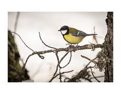 Cincia_05_bordo (serdor) Tags: cinciallegra cincia bosco uccelli fauna innevato autunno svizzera grigioni pontresina natura naturalistica sony a7m3 sony70200f4 sony70200 70200