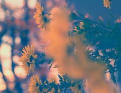 Ode an den Herbst (_andrea-) Tags: bokehjunkie bokeh bokehshots planart1450 zeissplanar objektiv sonya7m2 flowers chrysanthemen nature carlzeiss 50mm