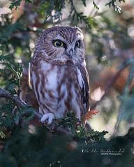 Northern Saw-whet Owl (Bill McDonald 2016) Tags: sawwhet northern ontario 2018 november fall hidden perched perching cute small billmcdonald wwwtekfxca roosting cedars