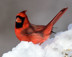 DSC_4017=1Cardinal+ (laurie.mccarty) Tags: bird snow bokeh wildlife nature