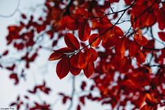 Leaves grow old (gusdiaz) Tags: autumn fall nature naturephotography leaf leaves fuji fujifilm xt2 mirrorless joy graceful grateful otoño hojas foliage vegetacion tree trees arboles colorido colorful frio cold gorgeous beautiful