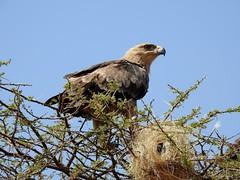 Tawy Eagle by Nina (alpenglowtravelers) Tags: africa safari wildlife kenya samburu