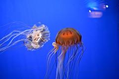 Northeast Pacific sea nettle (Chrysaora fuscescens) (franzkohler) Tags: nature life animals water shedd aquarium chicago usa jellyfish sea reflection blue long