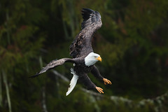 Hunting Bald Eagle (just4memike) Tags: animal bald bird blurredbackground eagle eye feather flight flying great nature raptor talon water white wildlife wing