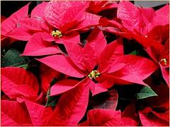 La stella di Natale.. (antonè) Tags: poinsettia stelladinatale fiore foglie rosso natale leggenda alghero sardegna festività antonè macro euphorbiapulcherrima natureinfocusgroup