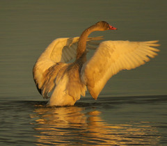 Young Tundra Swan (got2snap) Tags: swan bird sx60 tundra