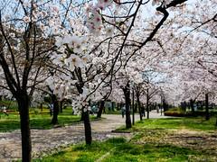 Cherry Blossom - Kema Sakuranomiya Park (Noti NaBox) Tags: japan japon cherry cerisier sakura blossom fleur sakuranomiya park parc osaka printemps lumix g80 g85