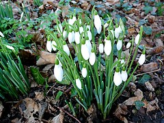 First Snowdrops (Hornbeam Arts) Tags: galanthus flower