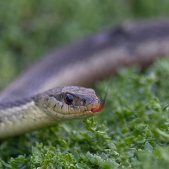 Garter Snake (Wm T Henry) Tags: reptile snake wildlife nature garter wild scales serpent garden slither tongue sirtalis macro flick canada gartersnake spring scary eastern stare eye closeup northamerica