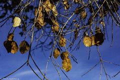 Dead Leaves and Sky (Thad Zajdowicz) Tags: zajdowicz canon eos 5dmarkiii 5d3 dslr digital color blue yellow sky leaves dead colour availablelight lightroom abstract nature ojai california usa light shadow ef50mmf12lusm primelens 50mm