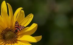 Zygène de la petite coronille - IMG_9292 (6franc6) Tags: macro fleur jaune maison occitanie languedoc gard jardin milhaud septembre 2018 6franc6