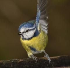 Blue Tit (6) (Mal.Durbin Photography) Tags: wildlifephotography maldurbin naturephotography wildbirds forestfarm nature naturereserve