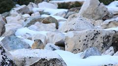 American pika (Ochotona princeps) (phl_with_a_camera1) Tags: brighton utah snow cold winter fall american pika ochotona princeps animal rodent
