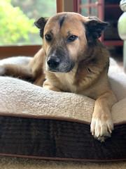 Chillin' (DenaIIi) Tags: shiloh dog vertical iphoneography bed portraitmode