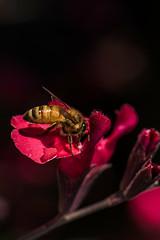 D75_5578 (crispiks) Tags: nikon d750 105 micro 28 r1c1 bugs life close up macro wodonga north east victoria
