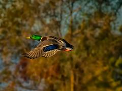 too far gone (pstrock1) Tags: sky morning goldenhour wild wildlife trees fly nature water field duck beauty mallard wings jump marsh