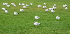 31 Ring Billed Gulls (First Initial = Steve) Tags: vermont burlingtonvt perkinspier sonya7ii a7ii canon canonef 24105f4 birds