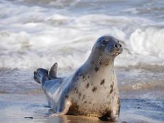 Seal (yvonnepay615) Tags: panasonic lumix gh4 nature seal horseygap norfolk eastanglia uk coth coth5