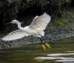 Egret (jennbastian) Tags: egret bird san lagoon california sandiego