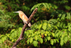 Squacco Heron (Wild Chroma) Tags: ardeola ralloides ardeolaralloides heron birds nonpasserines madagascar ankarafantsika