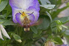 Taubenschwänzchen am Futternapf - Hummingbird on the food bowl (heinrich.hehl) Tags: natur fauna schmetterling taubenschwänzchen stiefmütterchen nektar nectar pansy hummingbird butterfly nature