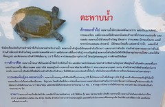 Amyda cartilaginea (Boddaert, 1770) Trionychidae-Asian soft-shell turtle-ตะพาบน้ำ (SierraSunrise) Tags: animals aquarium esarn isaan nongkhai reptiles softshellturtles thailand turtles
