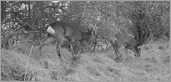 Roe Deerr 03120135 (dark-dave) Tags: deer roedeer wildlife bushnell stag