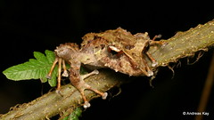 Pinocchio Rainfrog, Pristimantis appendiculatus (Ecuador Megadiverso) Tags: amphibian andreaskay anura birdwatcherslodge craugastoridae ecuador frog mindo pinocchiorainfrog pristimantisappendiculatus rainforest strabomantidae tropic