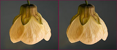3-D Abutilon flower from the garden #1 (Lord V) Tags: 3d macro flower abutilon