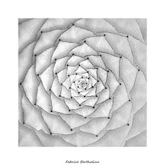 Aeonium (bertholino fabrice) Tags: fabricebertholino aeonium plantegrasse geométrie cercle blackandwhite noiretblanc carré nature macro proxy plantecultivée nikond600 sigma105macrooshsm