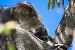 Sleeping Koala (Theo Crazzolara) Tags: australia queensland magneticisland magnetic island townsville nature natural vacation highlight traveling journey sleepy sleeping koala koalabear bear animal mammal cute sweet wild wildlife