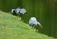Angry heron approaching :) (joeke pieters) Tags: 1420554 panasonicdmcfz150 enkhuizen noordholland nederland netherlands holland reiger geron vogel bird