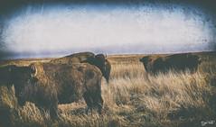 American Bison (J K German) Tags: aetna bison buffalo hardtner tedturner grassland prairie ranch sky nature