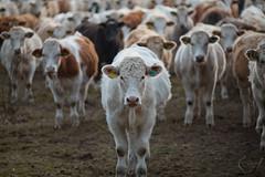 MårtenSvensson_030_3U4A4848 (Bad-Duck) Tags: husdjur jordbruk köttko bete betesmark ko kor kväll köttras natt vinter