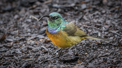Orange-breasted sunbird (Anthobaphes violacea) (Hernan Linetzky Mc-Manus) Tags: capetown southafrica wild linetzky ciudaddelcabo