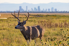 Mule Deer - Rocky Mountain Arsenal - Denver, Colorado (BeerAndLoathing) Tags: 2018 rockymountainarsenal usa denver wildlife 77d colorado deer buck canon fall september autumn stag canoneos77d